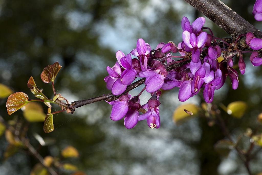 C. silliquastrum. Flores. Foto: D. Descouens