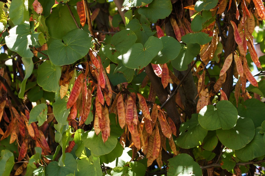 C. siliquastrum, hojas y frutos. Foto: T. Gerus