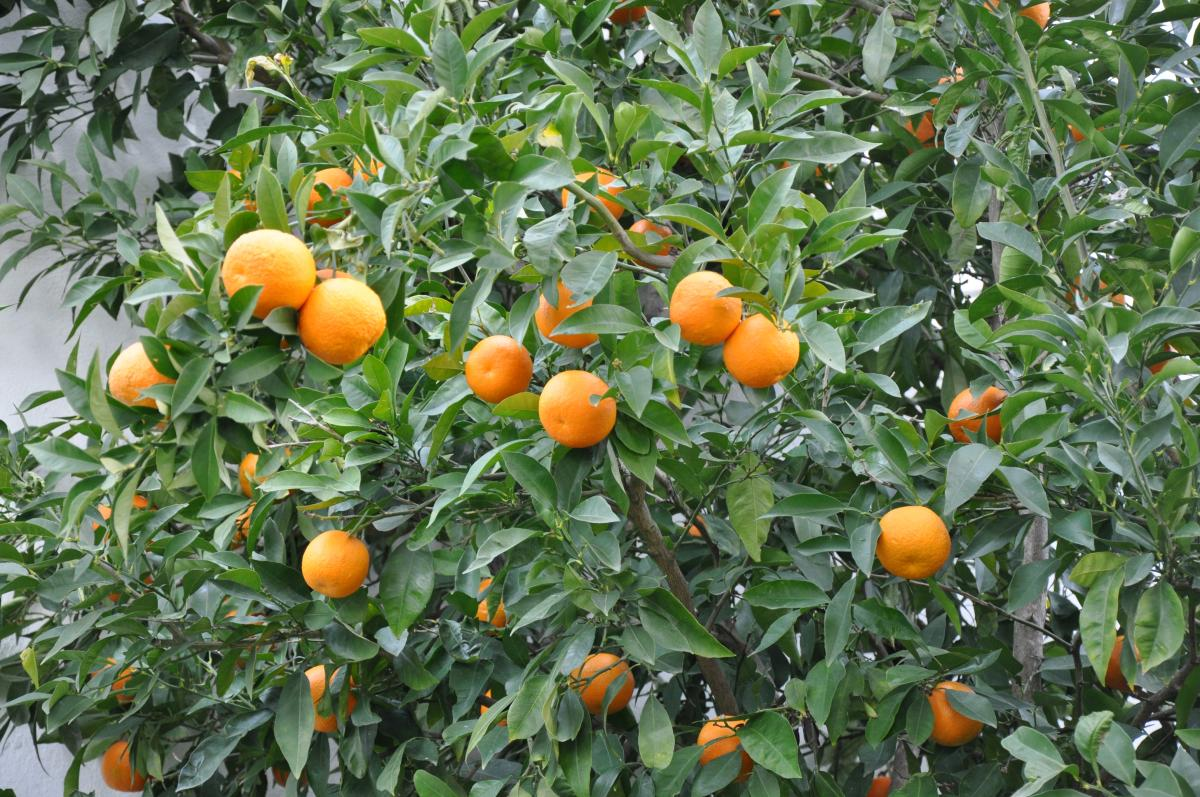 Naranjo amargo. Foto: Stefano