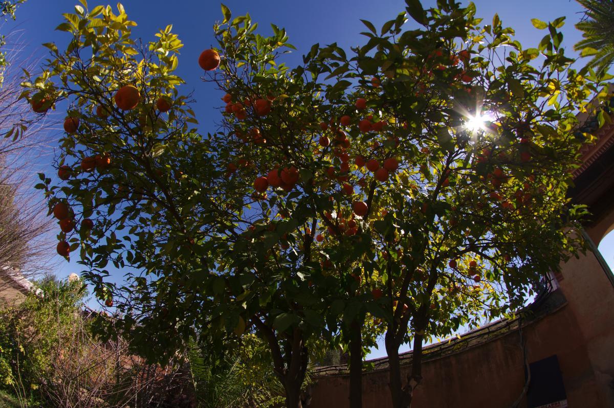 Naranjo amargo. Foto: Naberaka