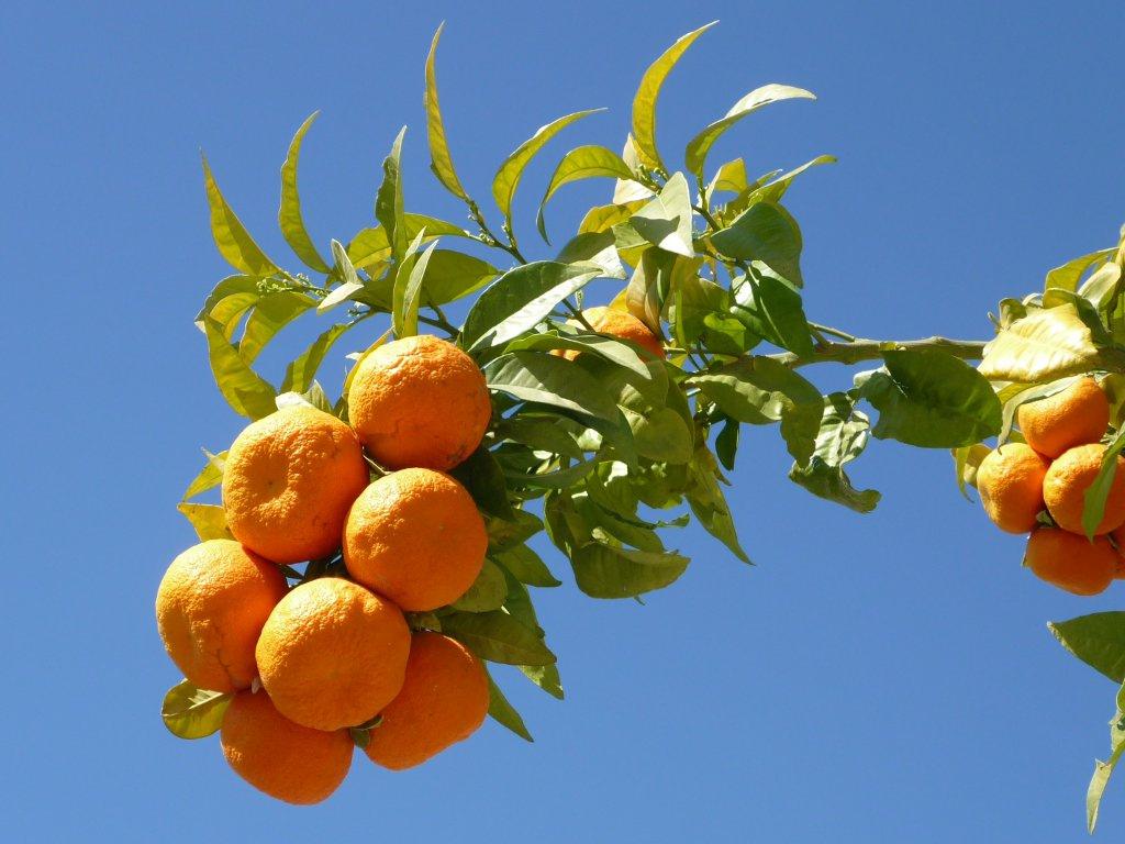 Naranjo amargo. Foto: J. Cabrera