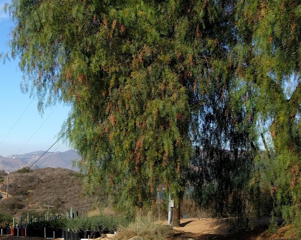 Schinus molle. Foto: Cultivar 430