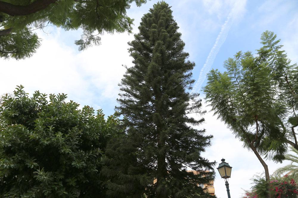 La araucaria o pehuén pertenece a la familia de las coníferas. Posee unas finas ramas, perpendiculares al tronco o levemente alzadas en su extremo. Las hojas son gruesas y duras, de un color verde oscuro; se reproducen en espiral cubriendo los tallos por completo y tienen una espina en la punta.