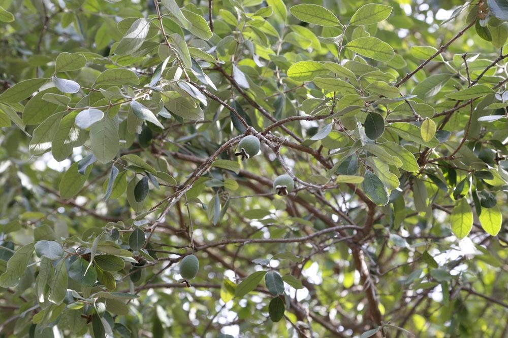Conocida con el nombre común de Feijoa, Feijoas, Guayaba del Brasil, Guayabas del Brasil, Guayabo del Brasil. Es un arbusto de hoja perenne de unos 2 metros de altura. Es una planta que lleva en el jardín desde el año 1987.
