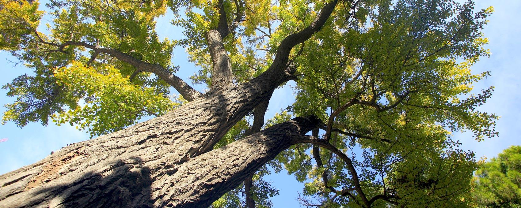 Conegut com a l'arbre dels quaranta escuts, és un arbre únic en el món. Pot aplegar a fer 35 metres d'alçada