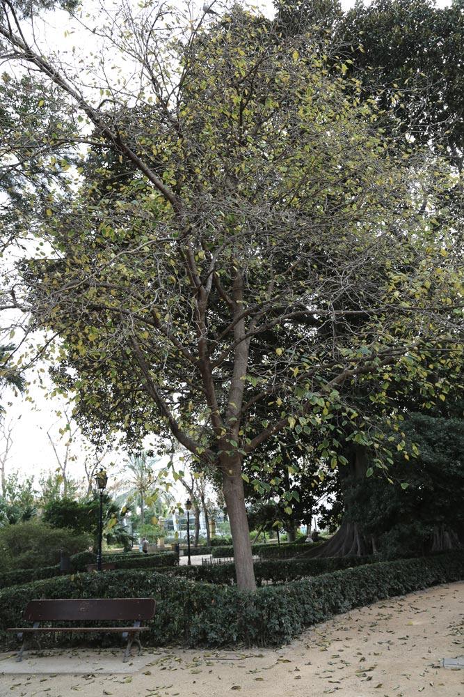 También conocida como Mora turca, su nombre técnico es Broussonetia papyrifera. Es una especie nativa de Asia oriental y cultivada en el Extremo Oriente desde hace siglos para su utilización en la fabricación de papel.