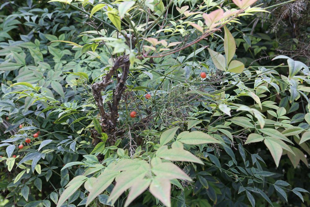 Nandina domestica es una especie de arbusto perteneciente a la familia de las berberidáceas. Se considera también original del jardín.