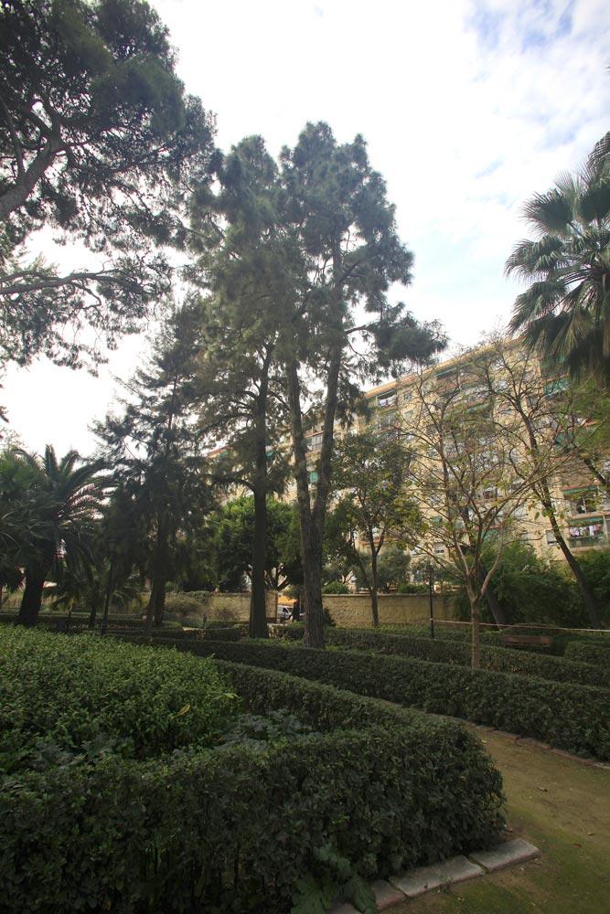 El Pinus canariensis es una conífera endémica de las Islas Canarias. El árbol adulto puede llegar a mediar más de 40 metros de altura y su tronco 2,5 metros de diámetro.