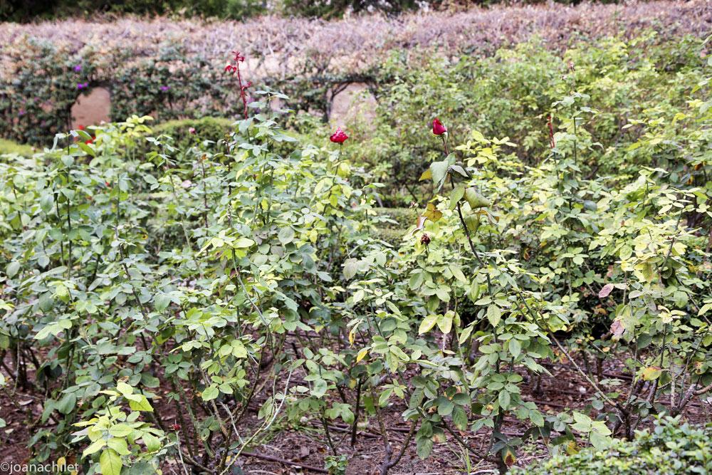 El espacio gira entorno a un Laurel Monumental y a la Acequia Vista que recorre el jardín, que al llegar al centro de la Rosaleda bordea el Laurel con su trazado. Los rosales son de porte bajo, y dentro de uno de los parterres encontramos un ejemplar de árbol de coral o Erythrina crista-galli.