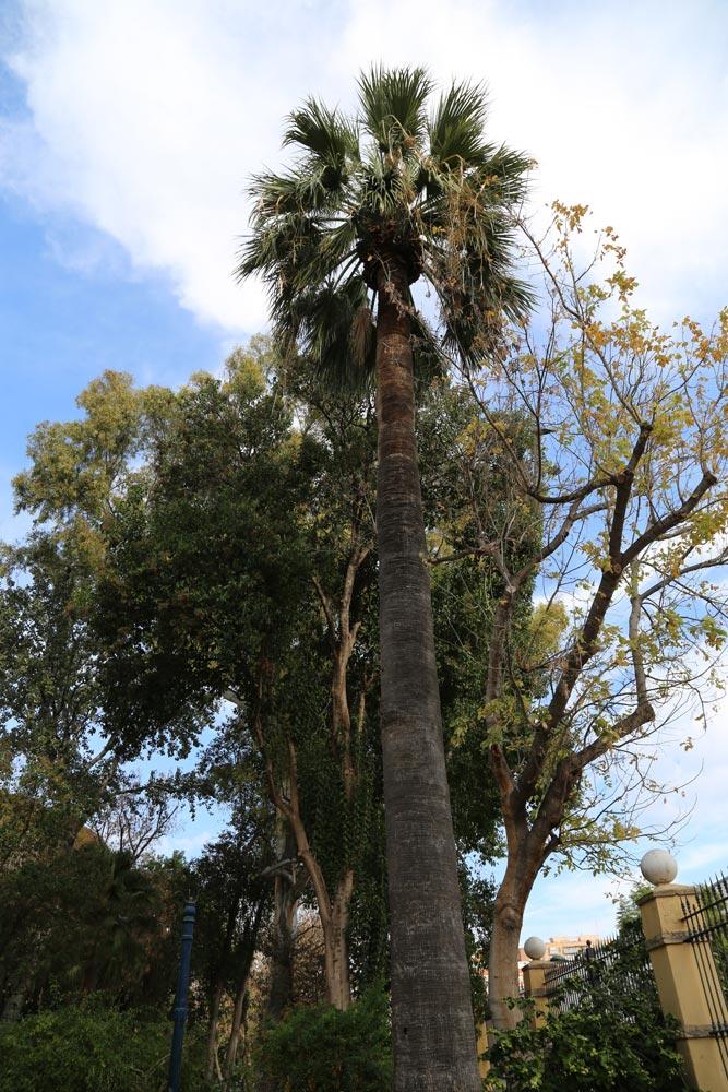También llamada Palmera de California es una especie arbórea de la familia de las Arecáceas.
