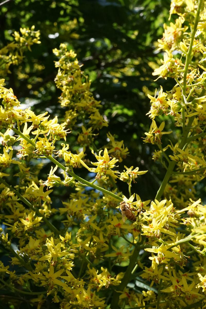 Koelreuteria paniculata. Foto: