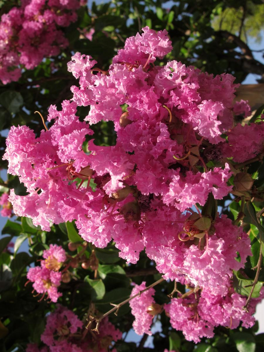 Lagerstroemia indica. Foto: Jacinta Lluch