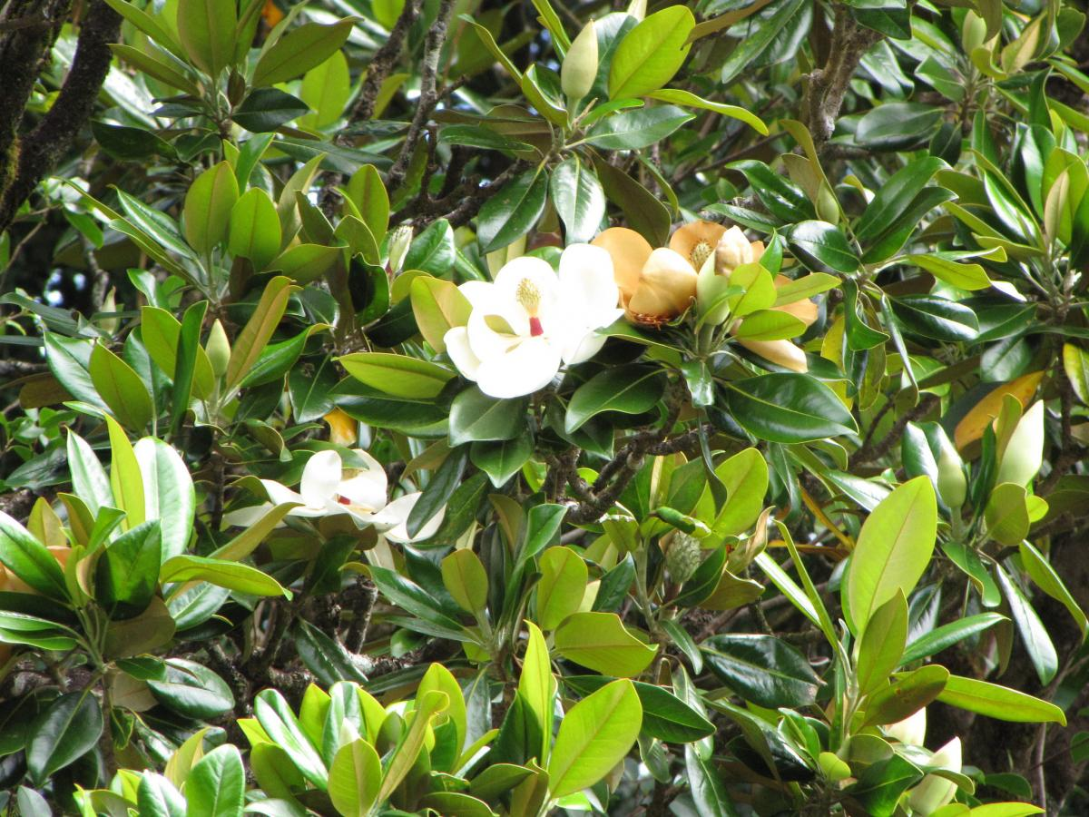 Magnolia grandiflora. Foto: