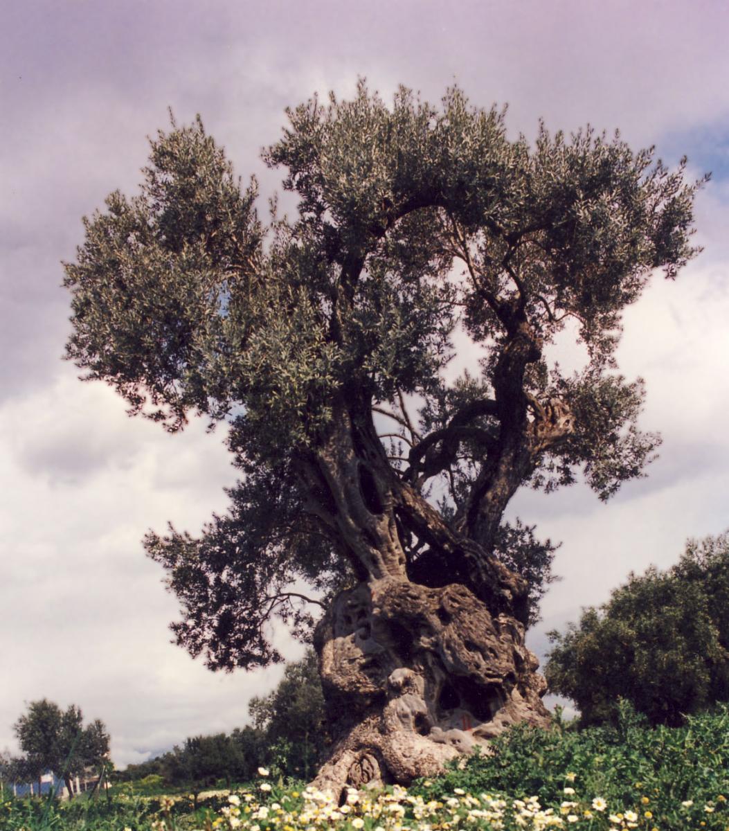 Olea europaea. Foto: M. Gikar