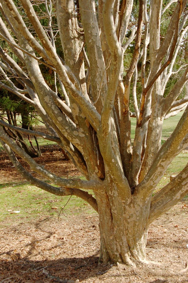 Árbol del hierro_Parrotia persica. Foto: D. Ramsey