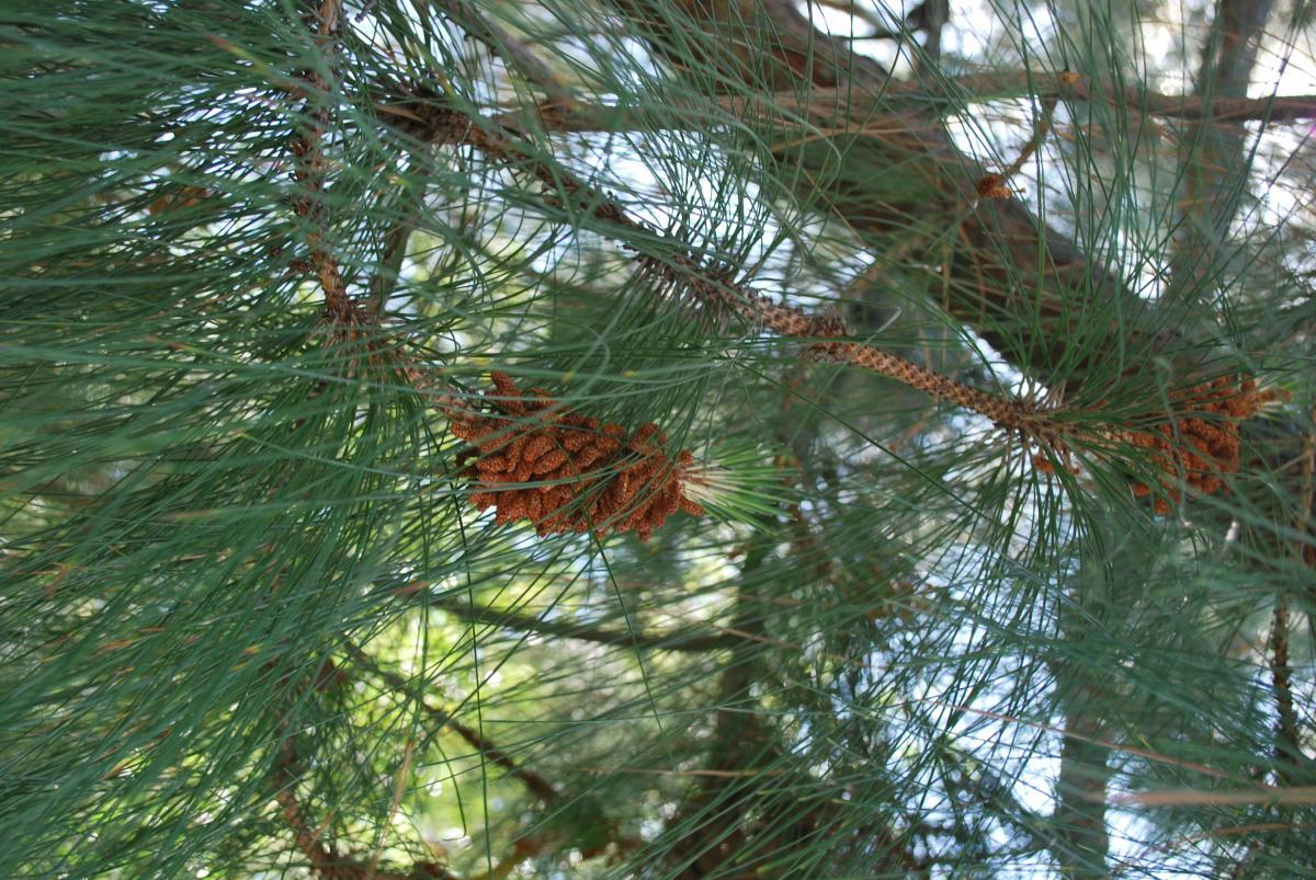 Pinus canariensis. Foto: B. Weldon