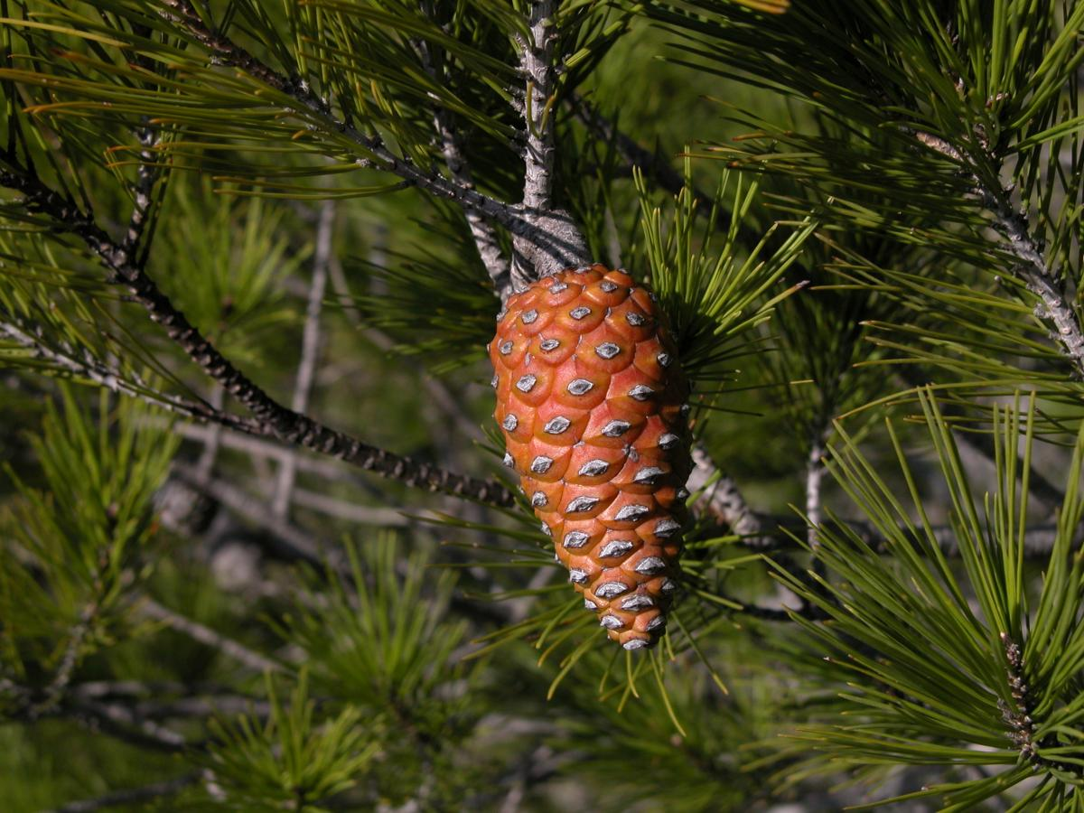 Pinus halepensis. Foto: T. Royo