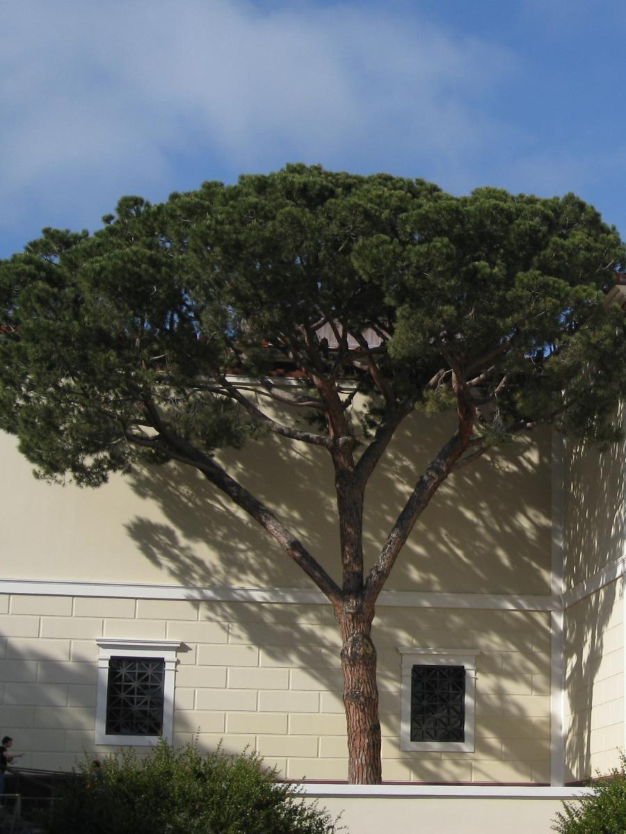 Pinus pinea. Foto: Brewbooks