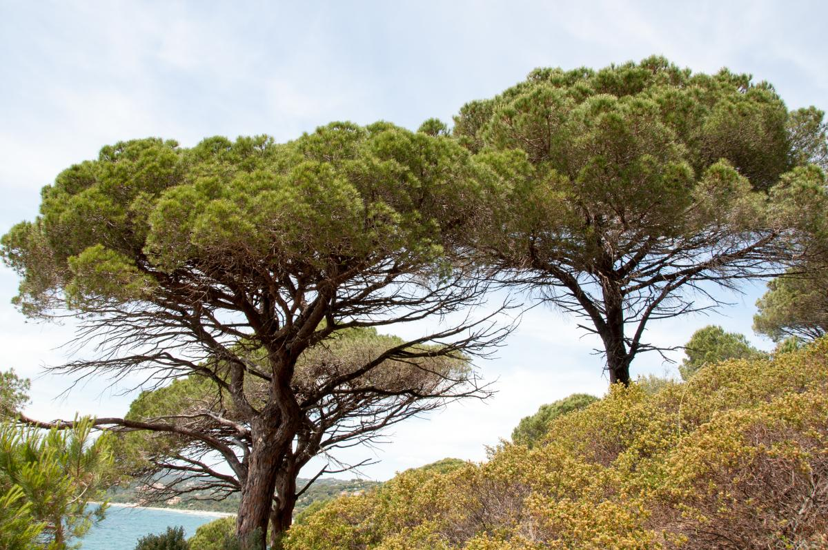 Pinus pines. Foto: P. Asman & J. Lenoble